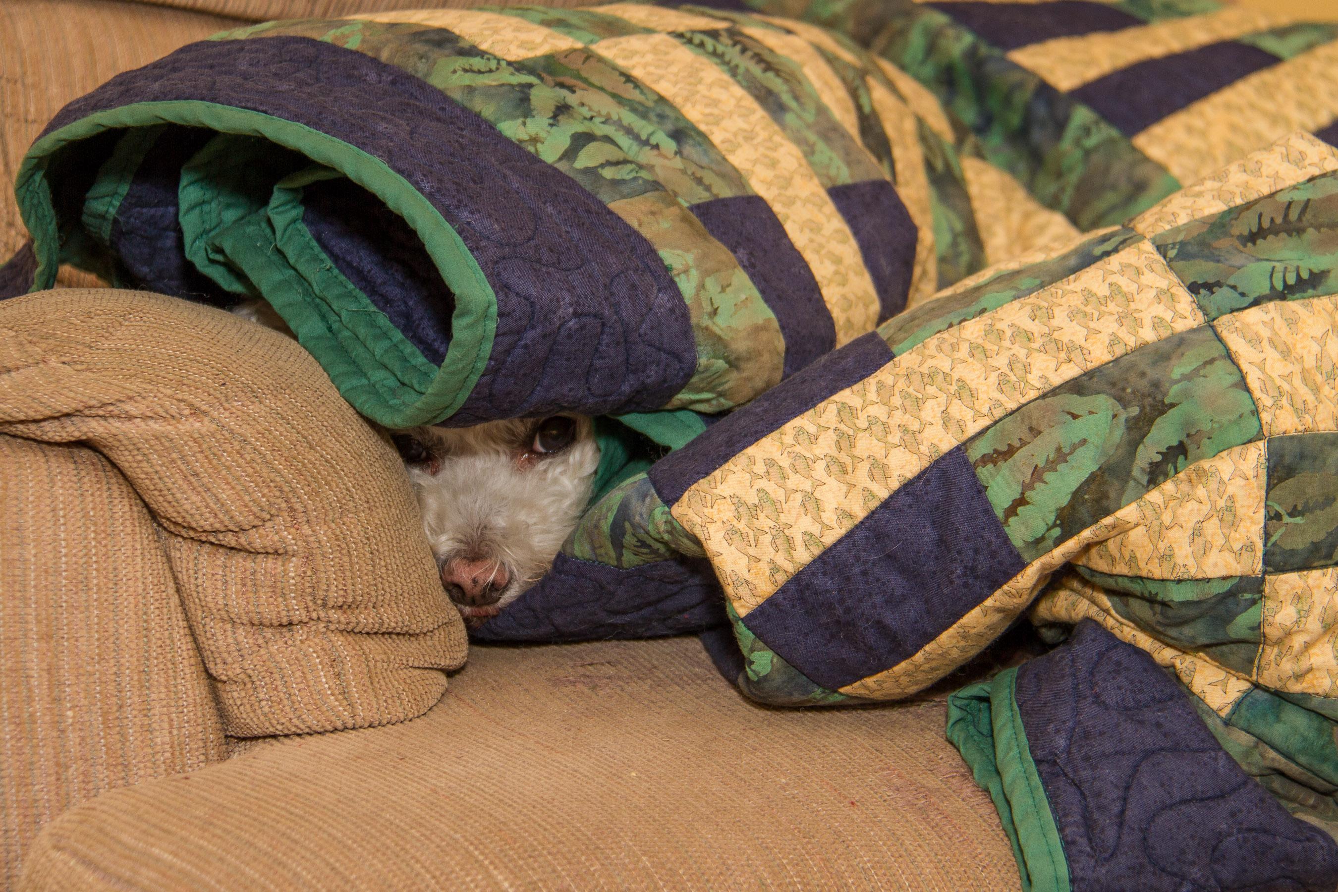 @Places, Animals, Bichon Frise, Christmas, Dog, Holidays, Home, Pet, Wildlife, Xmas, Yuki, yukes
