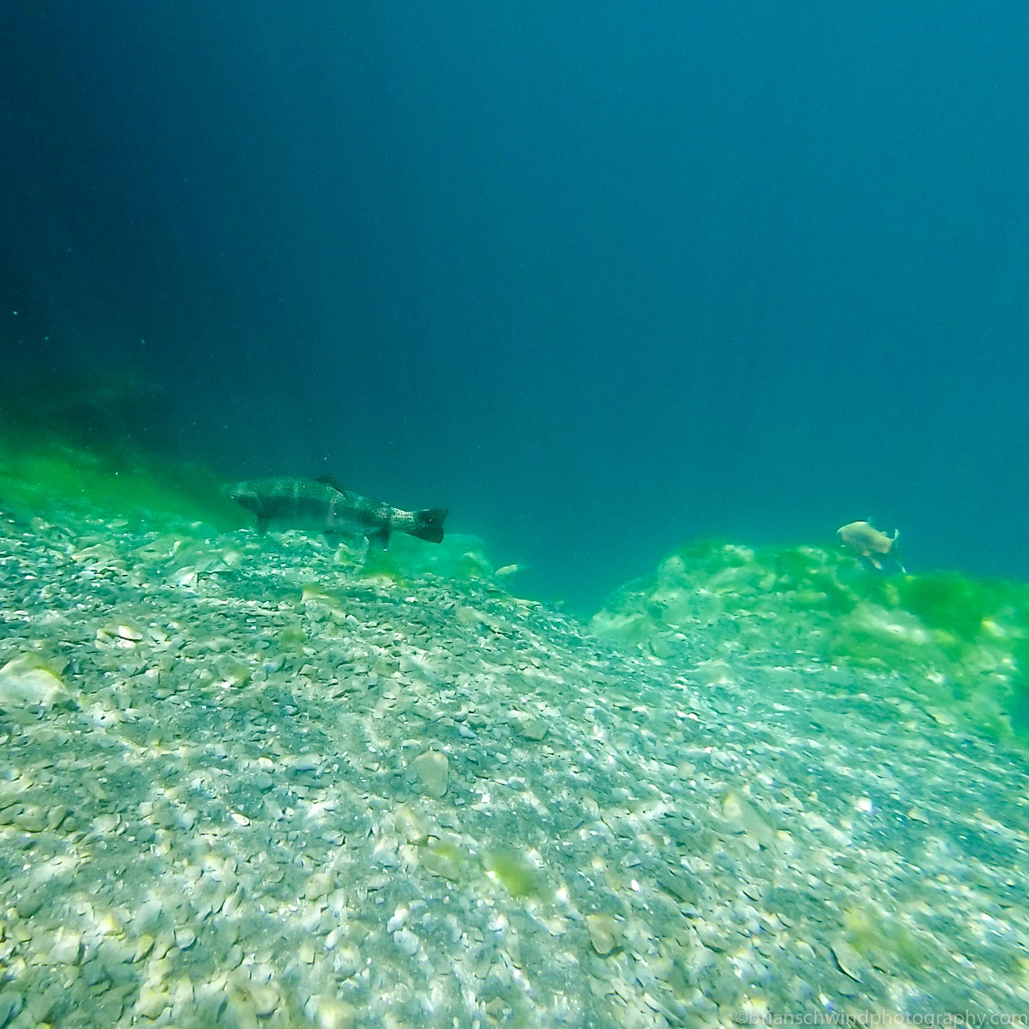 Trout Underwater at DutchSprings 2015